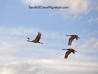 Three Sandhill Cranes flying over in blue sky