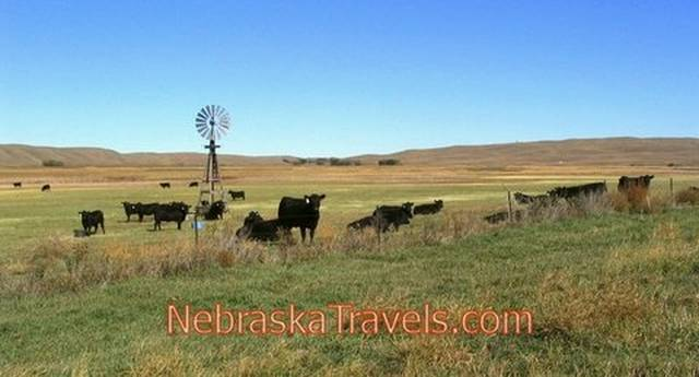 Western Nebraska Sandhills + Wooden Windmill - Cattle grazing on Grasslands